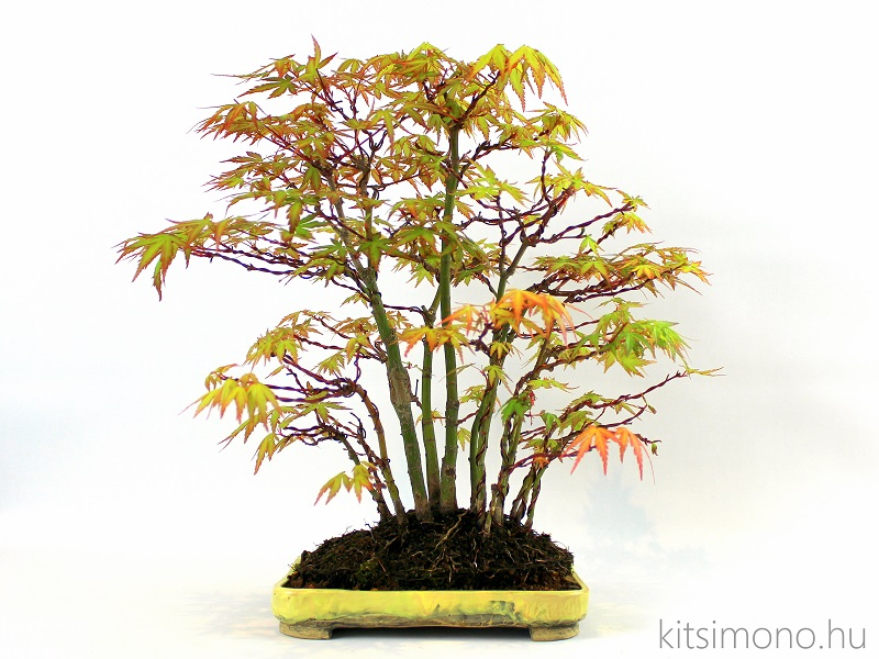 acer palmatum japan juhar bonsai yose ue bonsai tal vasarlas rendeles (1)