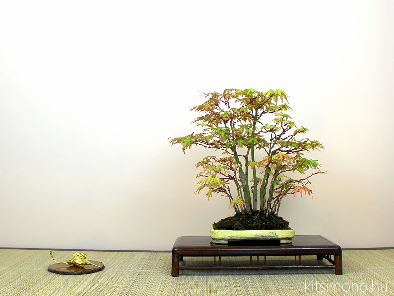 acer palmatum japan juhar bonsai yose ue bonsai tal vasarlas rendeles (3)