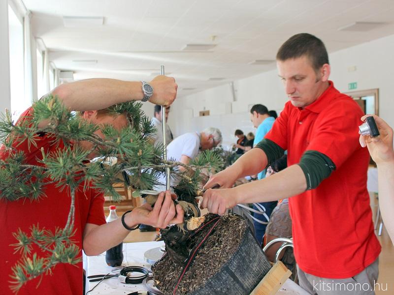 arco bonsai kitsimono 47