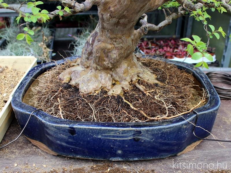 bonsai atultetese bonsaj technik praktika kitsimono repotting (3)