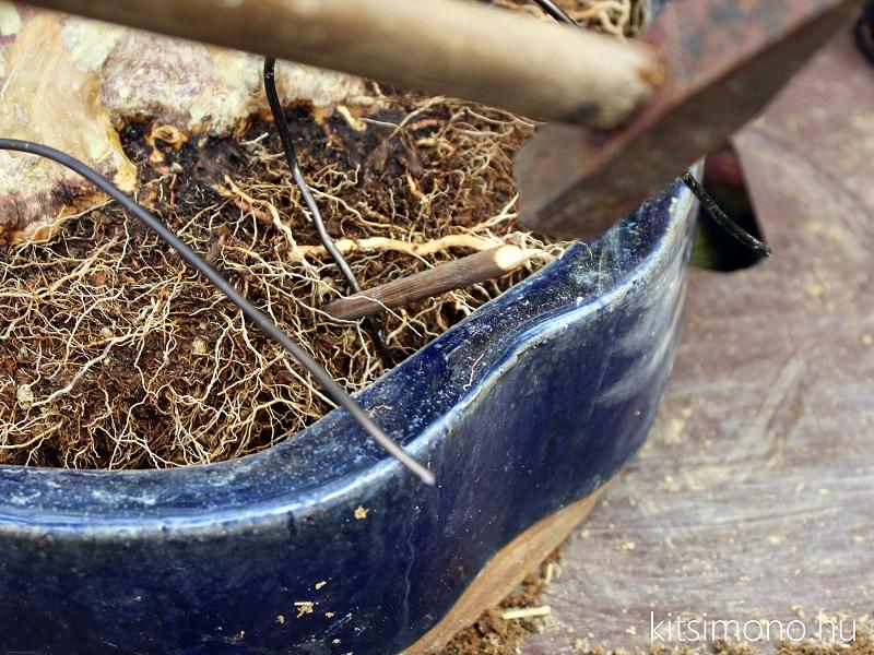 bonsai atultetese bonsaj technik praktika kitsimono repotting (4)