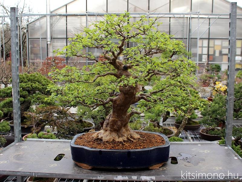 bonsai atultetese bonsaj technik praktika kitsimono repotting (6)