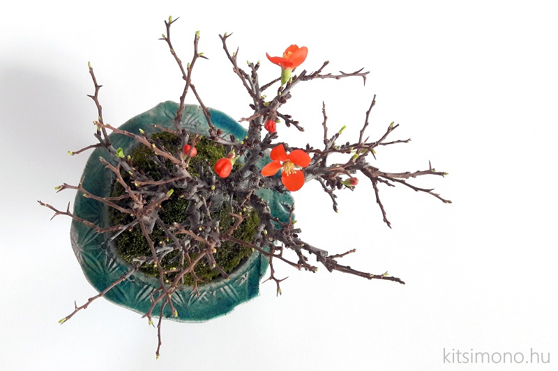 chojubai chaenomeles japonica shohin bonsai (1)