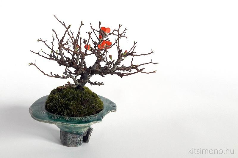 chojubai chaenomeles japonica shohin bonsai (2)