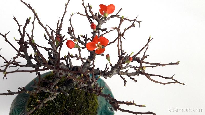 chojubai chaenomeles japonica shohin bonsai (4)