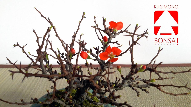 chojubai chaenomeles japonica shohin bonsai (5)