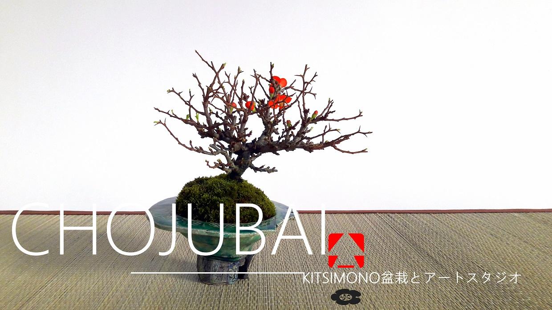chojubai chaenomeles japonica shohin bonsai (6)
