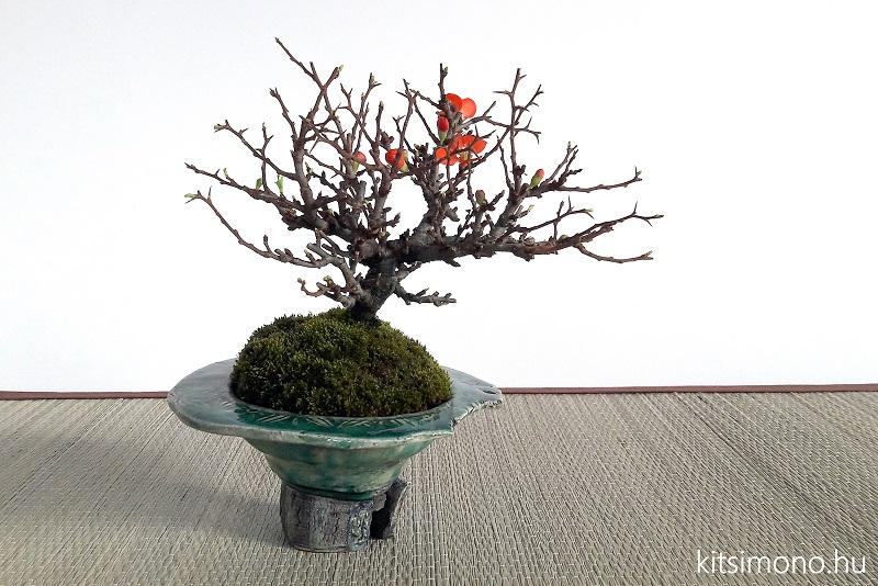 chojubai chaenomeles japonica shohin bonsai (7)