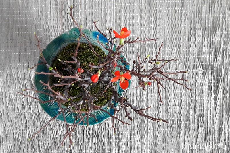 chojubai chaenomeles japonica shohin bonsai (8)