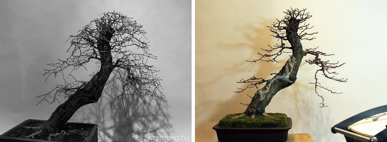 crataegus yamadori bonsai before after photo restyling kitsimono