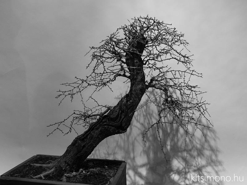 crataegus yamadori bonsai kitsimono (2)