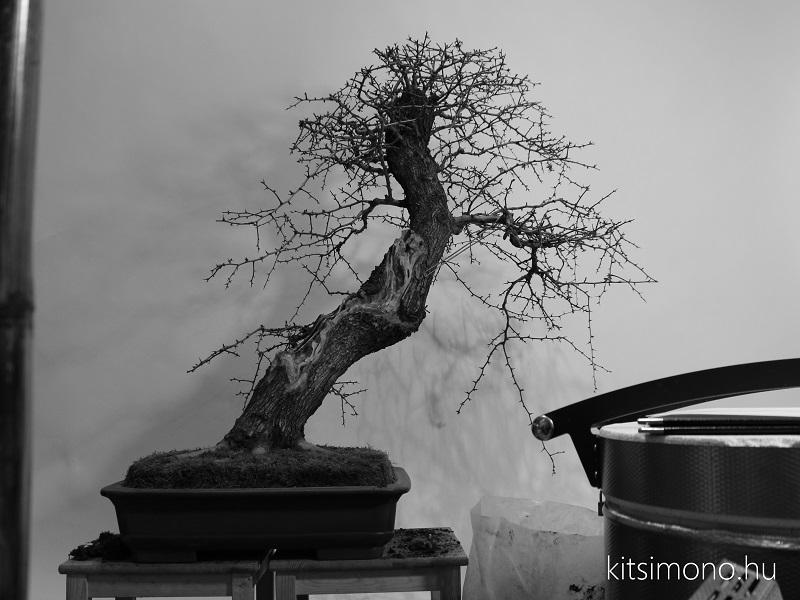 crataegus yamadori bonsai repotting bonsaj atultetese roots gyokerek kitsimono (14)