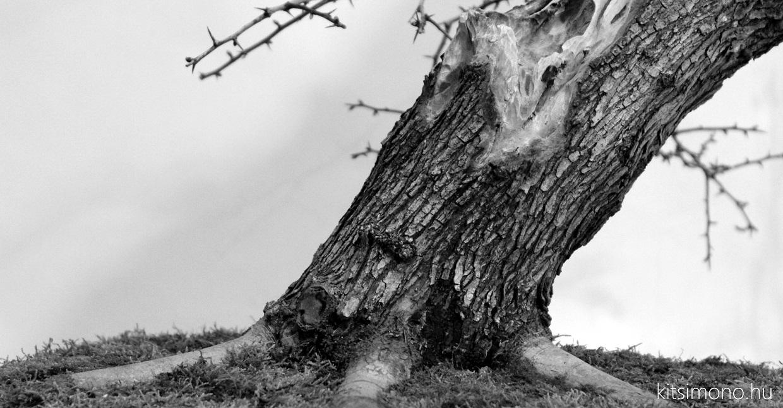 crataegus yamadori bonsai repotting bonsaj atultetese roots gyokerek kitsimono (16)