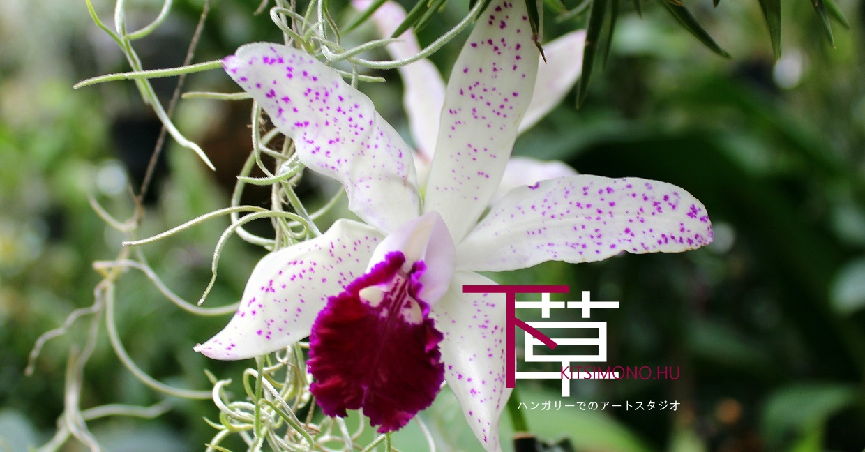 eba esa hungary orchids kusamono kitsimono (18)
