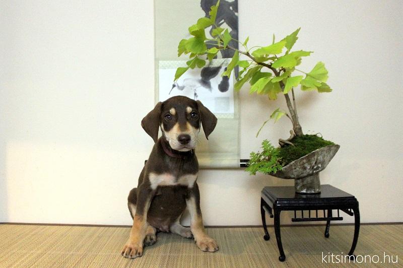 erdélyi kopó kölyök transylvanian kopo puppy kitsimono (1)