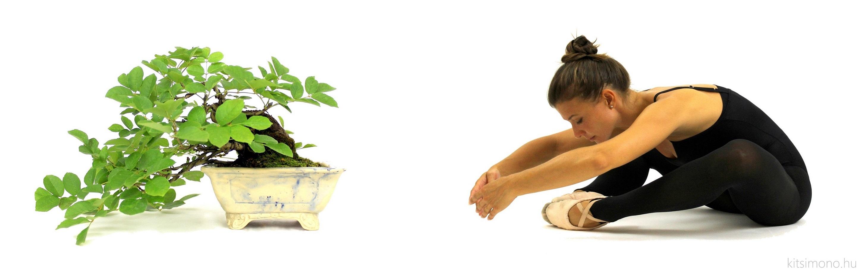 fraxinus ornus kőris shohin han kengai bonsai style kitsimono (15)
