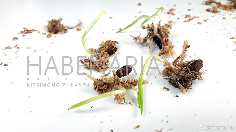 habenaria radiata kusamono kocsag orchidea kurama pot kitsimono (11)