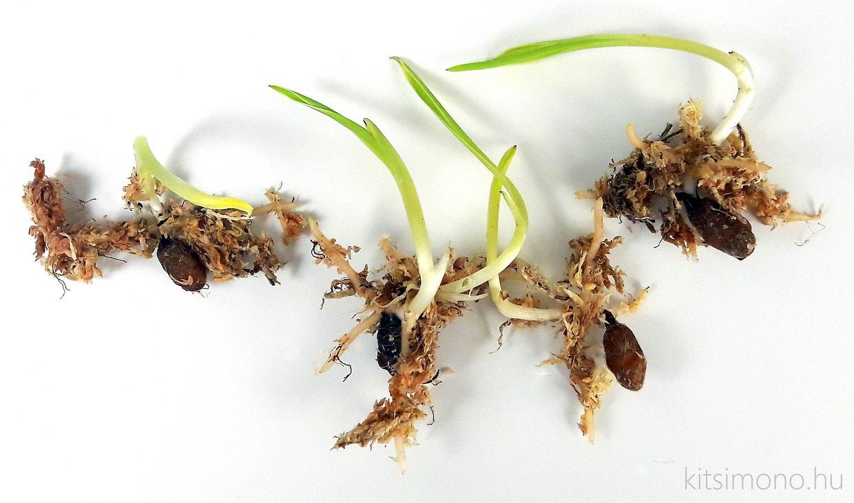 habenaria radiata kusamono kocsag orchidea kurama pot kitsimono (12)
