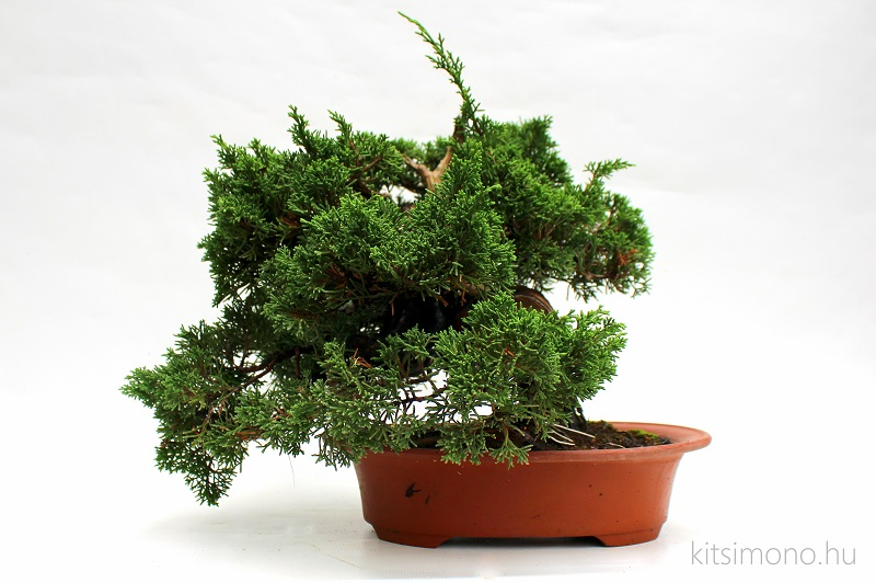 juniperus chinensis itoigawa japanese bonsai (5)