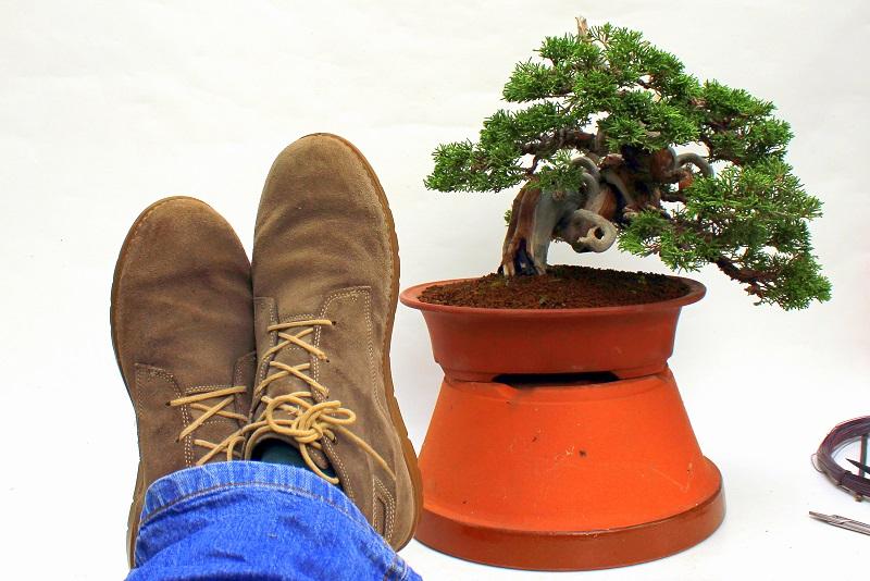juniperus chinensis itoigawa japanese bonsais (1)