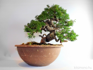 juniperus, chinensis, itoigawa, bonsai, pre bonsaj, after styling, kitsimono, boroka bonsai, alapanyag