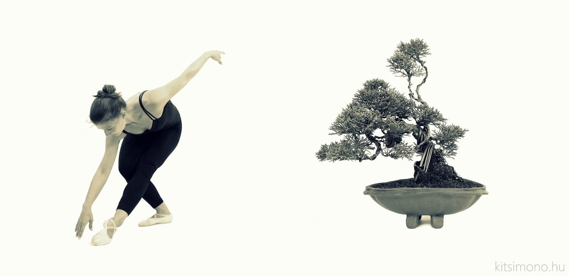 kishu juniperus chinensis shohin ballet kitsimono (13)