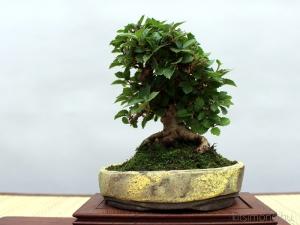 viburnum shohin bonsai kitsimono bonsaj talban