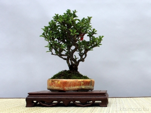 chaenomeles japonica shohin bonsai kitsimono bonsai tálban shohin bonsaipot
