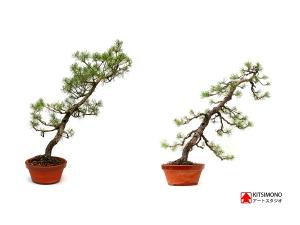kitsimono, bonsai, pinus, sylvestris, pre, bonsaj, alakitas, styling, restyling, egyetemi bonsai club