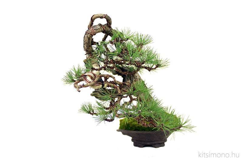 pinus black pine bonsai bunjin literati in handmade pot (1)
