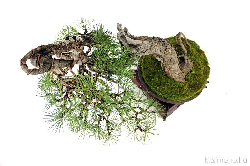 pinus black pine bonsai bunjin literati in handmade pot (10)