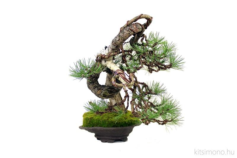 pinus black pine bonsai bunjin literati in handmade pot (3)