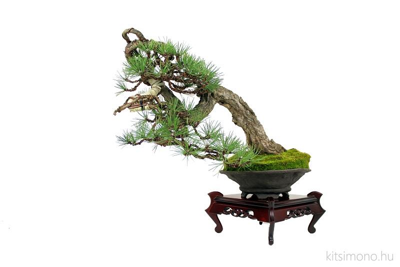 pinus black pine bonsai bunjin literati in handmade pot (8)