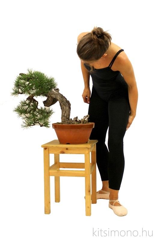 pinus nigra black pine matsu and literati bunjin bonsai ballet (13)