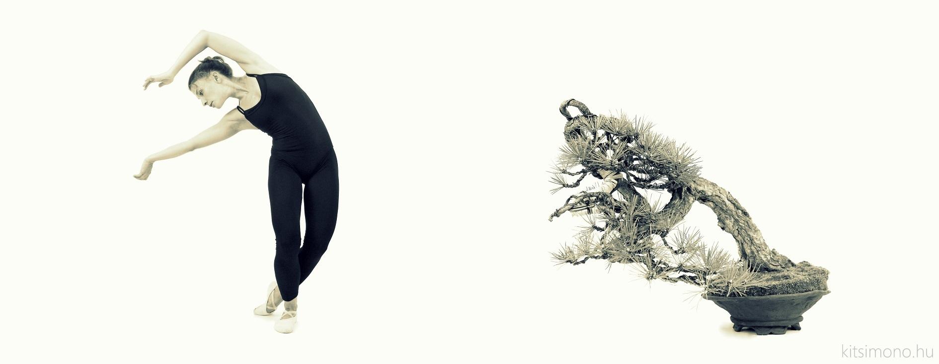 pinus nigra black pine matsu and literati bunjin bonsai ballet (14)