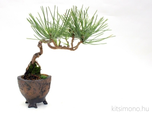 pinus thunbergii shohin bonsai in kitsimono irregular bonsai pot