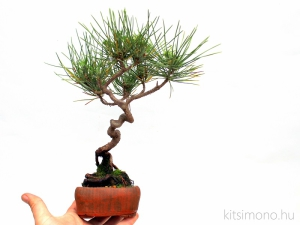 pinus thunbergii shohin bonsai in kitsimono pot