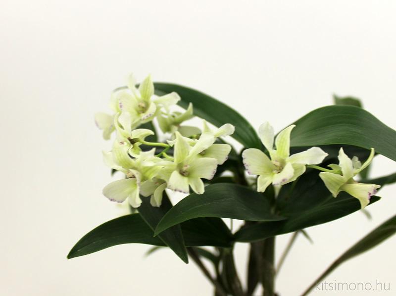 stenoglottis longifolia and dendrobium tokunaga orchidea kusamono kitsimono (4)