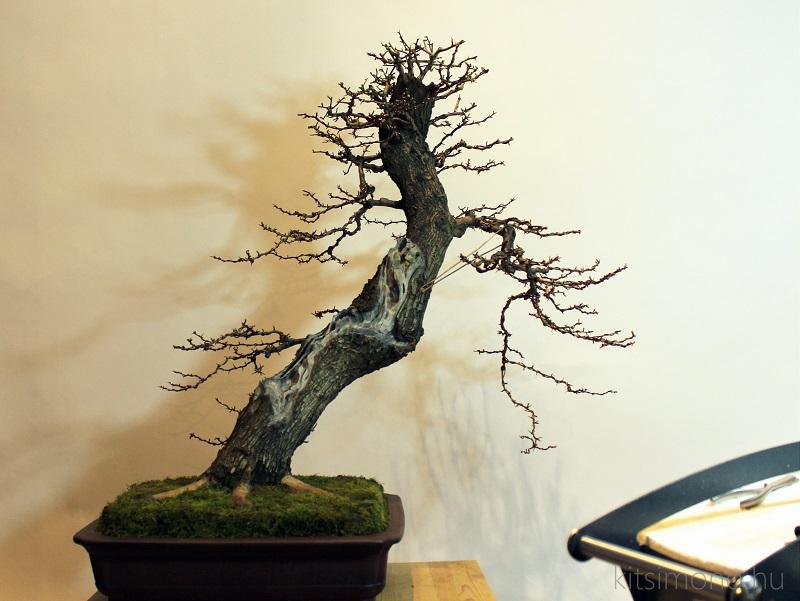 use bonsai cutpaste after bonsai trimming kitsimono (3)