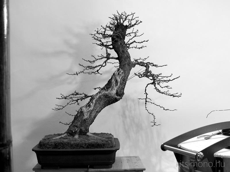 use bonsai cutpaste after bonsai trimming kitsimono (5)