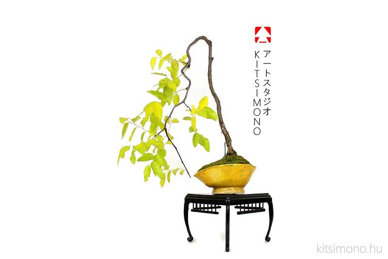 zizifus jujuba bonsai ginkgo biloba bonsaj autumn display kitsimono (2)