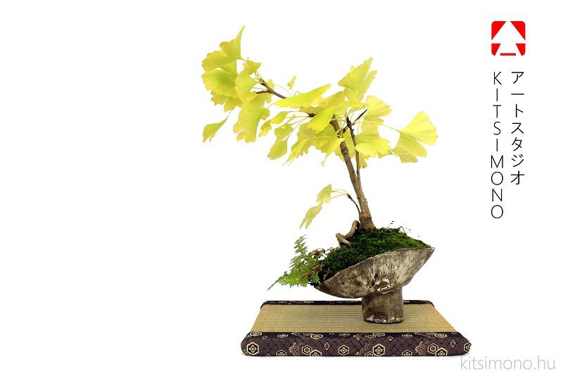 zizifus jujuba bonsai ginkgo biloba bonsaj autumn display kitsimono (4)