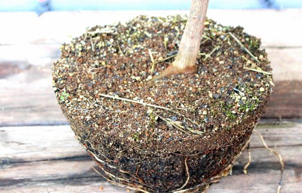 Acer buergerianum shohin pre bonsai praktikák és alakítások a kitsimono műhellyel