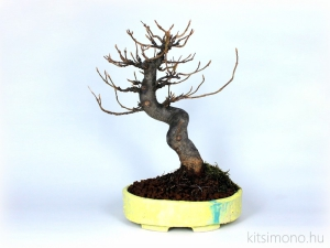 acer, buergerianum, acer buergerianum, shohin, shohin bonsai, yellow bonsai pot, shohin bonsai tal, kitsimono, bonsai atultetese, atultetes, bonsaj