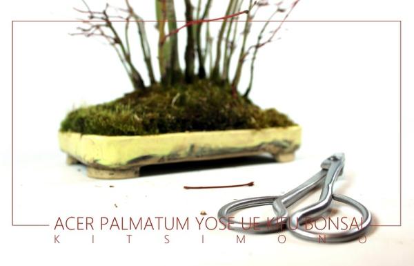 Acer palmatum kifu yose ue bonsai átültetés