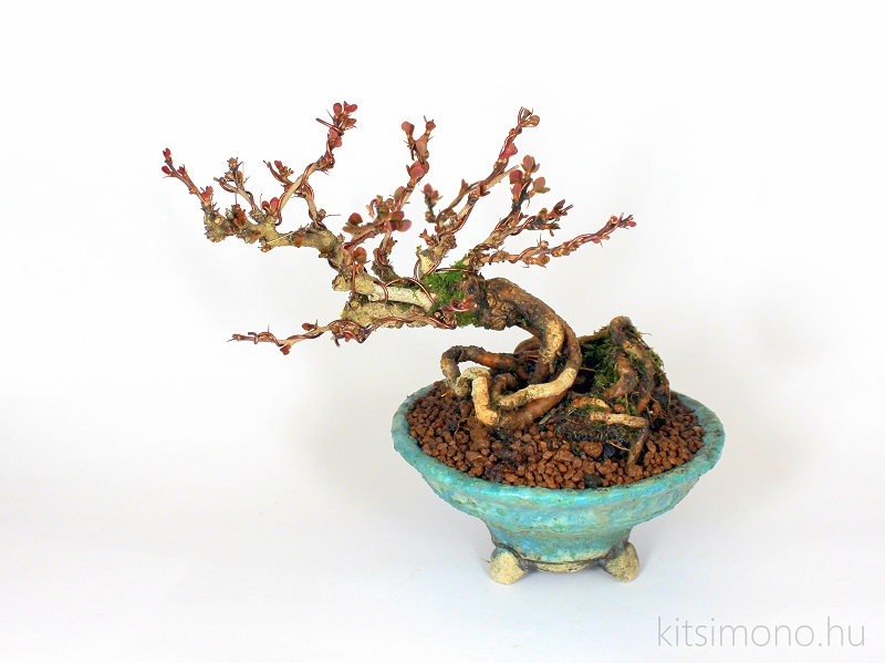 berberis thunbergii kobold shohin bonsai kitsimono bonsai pot (1)