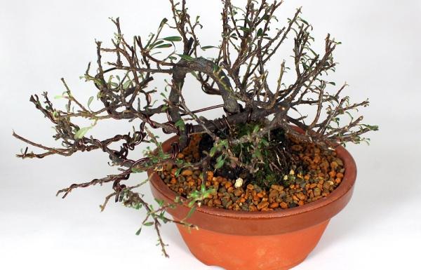 Shohin pre bonsai cotoneaster dugványról japán nevelőtálban frissen alakítva