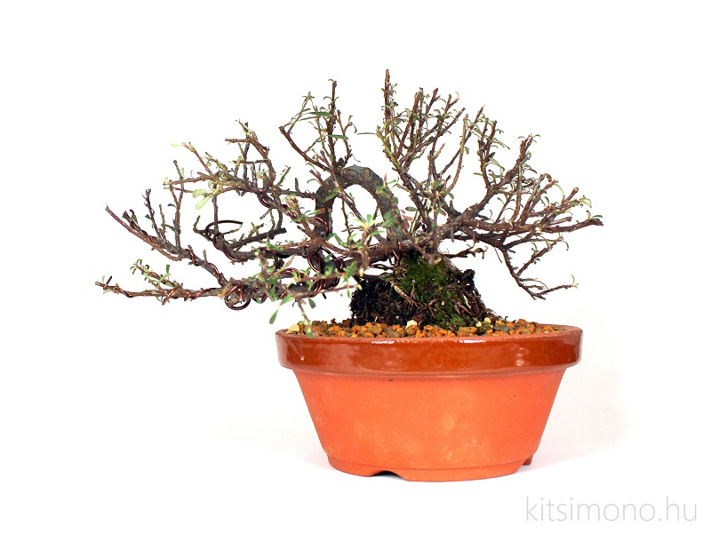 cotoneaster integrifolius shohin bonsai pre bonsai in japanese training pot kitsimono (2)