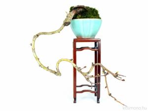Crataegus monogyna Egybibés galagonya bonsai mame méretben