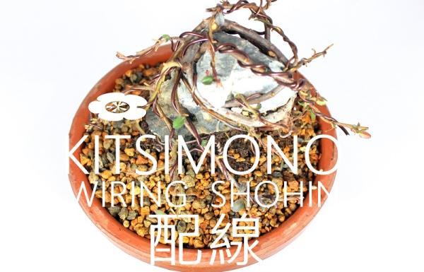 Sekijoju shohin pre bonsai magoncból japán nevelőtálban frissen drótozva